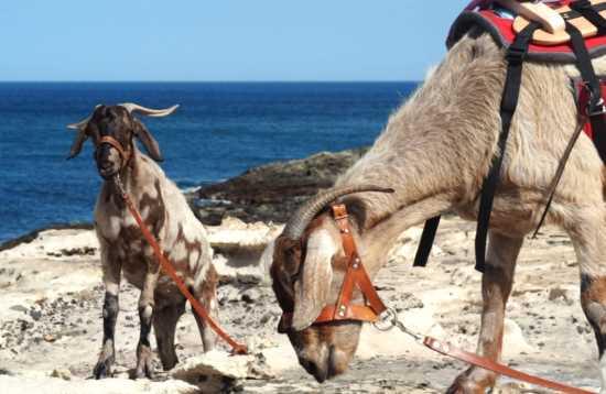Wandelen met geiten op Fuerteventura